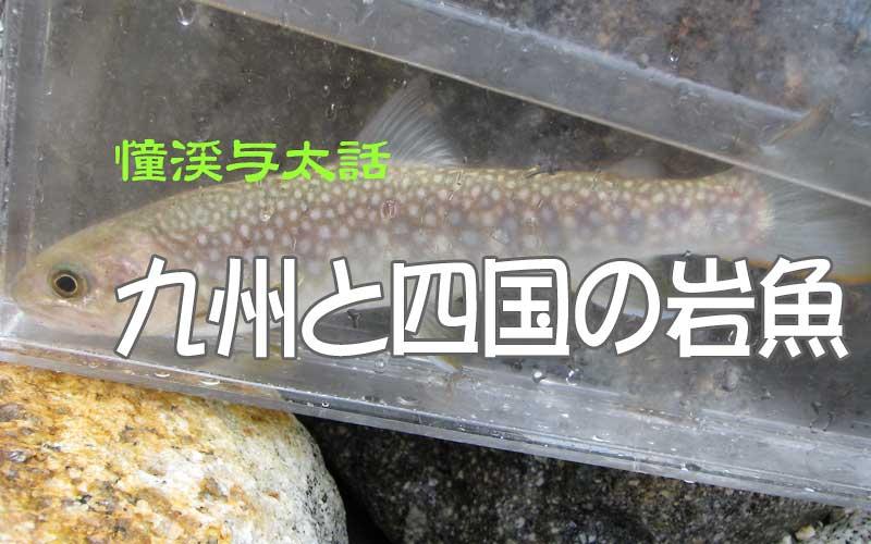 祝子川支流のイワナ