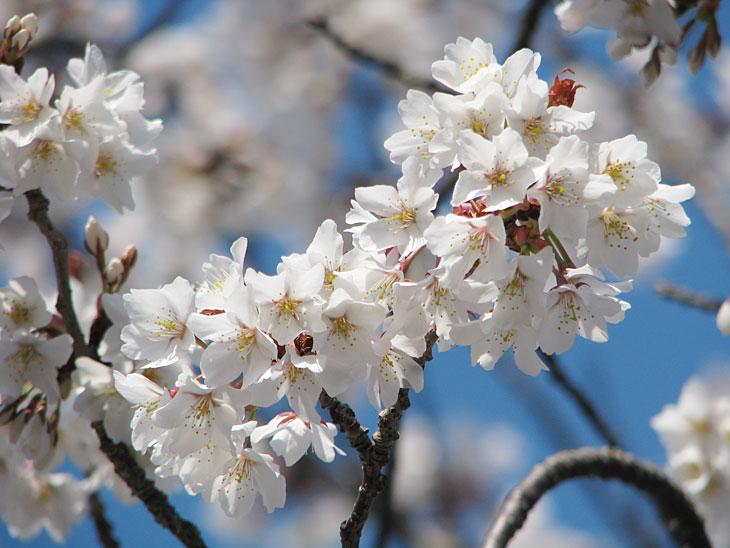 2017年桜咲く